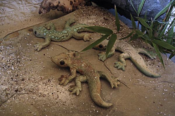 Geckos, klein 2